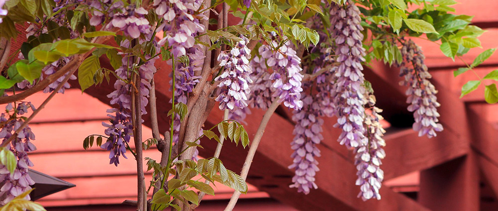Die fünf schönsten Pflanzen für die Pergola