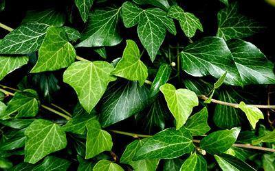 Efeu: Robust & pflegeleicht. Eine passende Pergola-Pflanze.