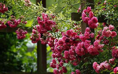 Kletterrosen: eine wahre Blütenpracht. Eine passende Pergola-Pflanze.
