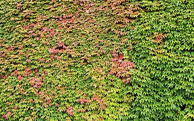 Wilder Wein: Buntes Farbspiel zahlloser Blätter. Eine passende Pergola-Pflanze.